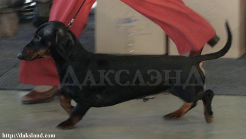 питомник длинношерстных такс Дакслэнд